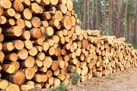 Extração pinus