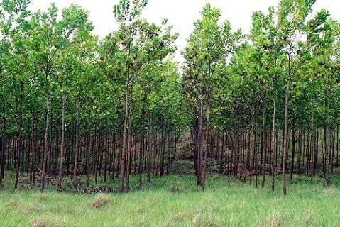 floresta-de-acácia