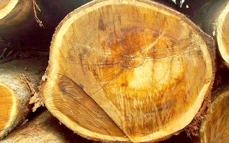 madeira-acácia-mangium