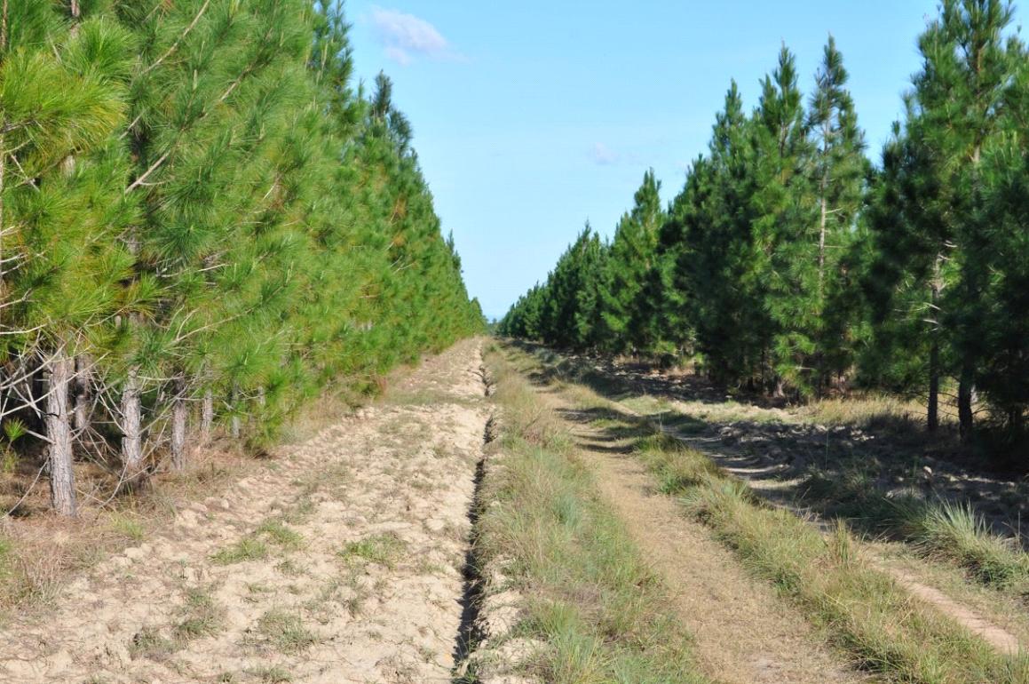 Pinus Carebean