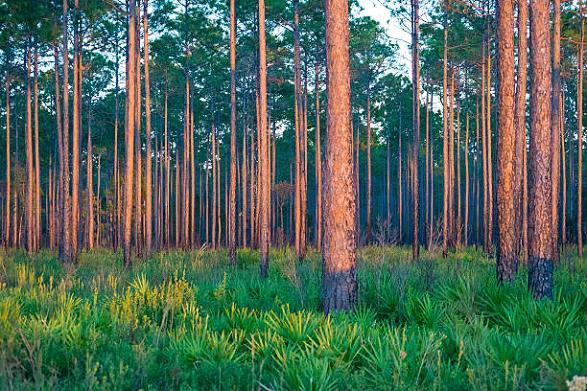 Pinus Eliotti